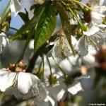 Black Tartarian Cherry Blossoms from Arbor Day Foundation